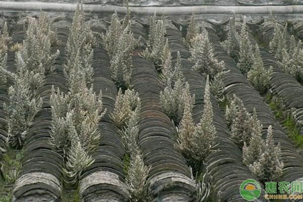 """瓦房上的野生植物——""""瓦松"""""""