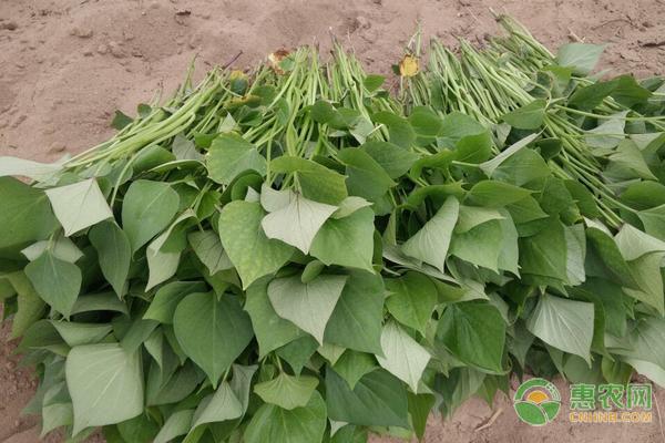 栽培红薯苗的注意事项