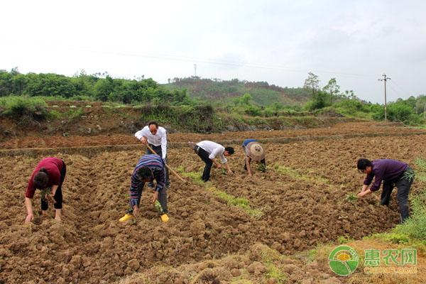 一亩地种多少株红薯苗