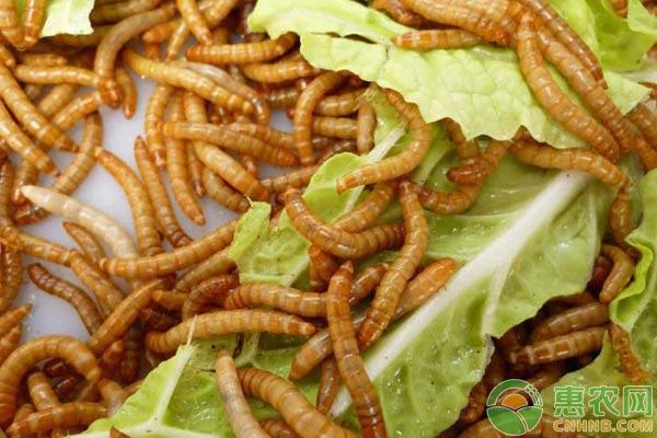 2019年黄粉虫养殖前景及养殖利润分析