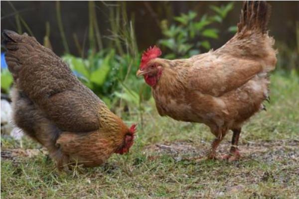 2019年虫子鸡市场价格及养殖前景介绍