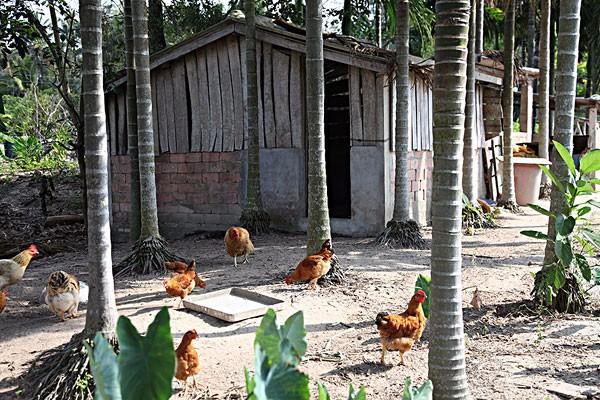 今日淘汰鸡多少钱一斤?2019最新淘汰鸡收购价格行情