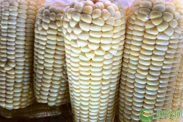 玉米多少钱一斤?2019年2月份玉米价格行情预测