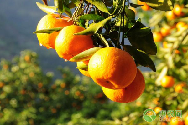 柑橘树施肥修剪、保花保果、防治病虫等管护要点