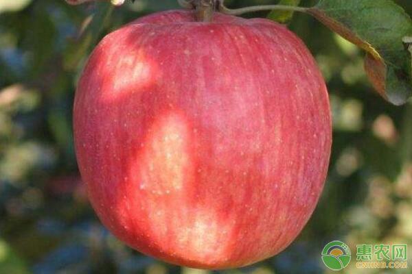 适龄不结果苹果树长旺枝、中等枝、小短枝修剪要点