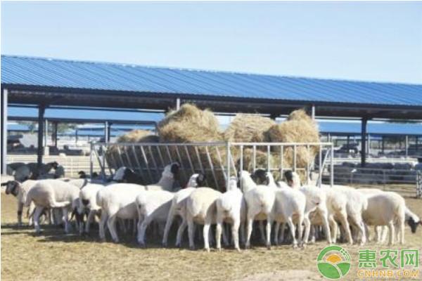 肉羊养殖哪些品种的利润高、口感佳?