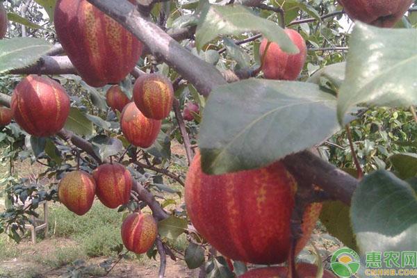 早酥红梨种植