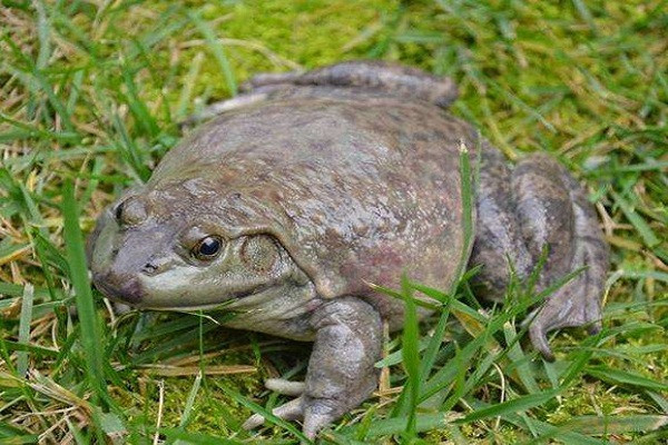 牛蛙养殖赚钱吗?牛蛙养殖成本及利润分析