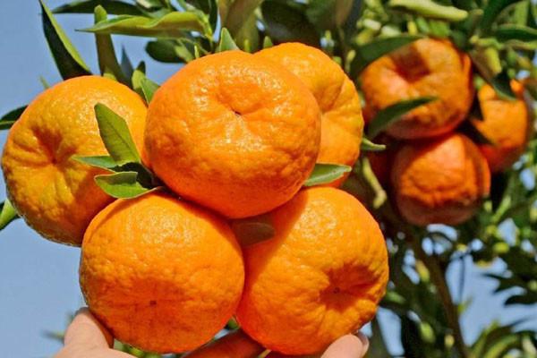 节后柑橘价格如何?是涨是跌?最新柑橘价格行情分析