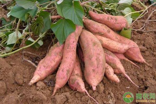 最新红薯产区价格行情汇总