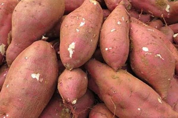 红薯多少钱一斤?最新国内产区红薯价格行情汇总