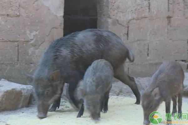 野猪养殖致富