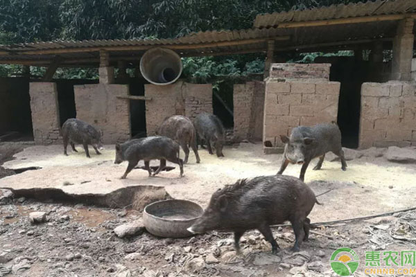 野猪养殖案例