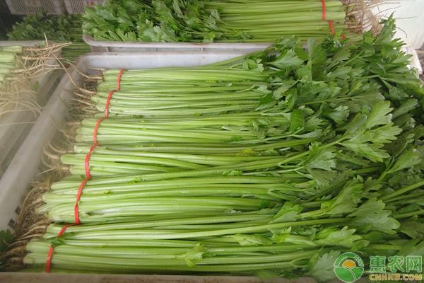 亚博-大棚芹菜大量上市,预计后市价格行情稳中有涨!