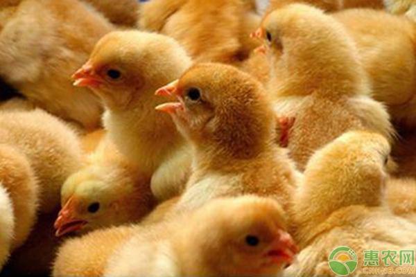 雏鸡生长管理的技术要点