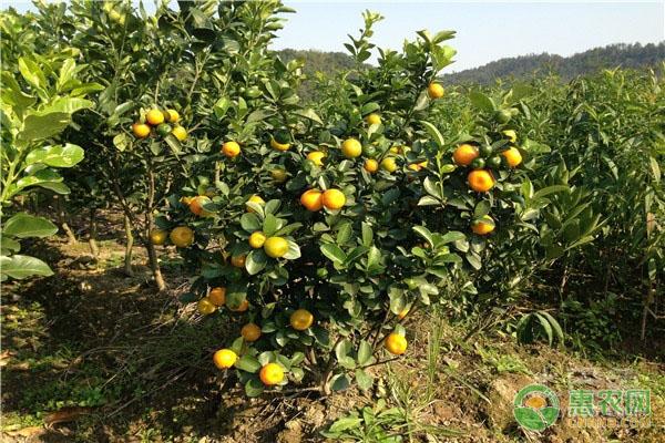 2019年柑橘主产地价格行情分析