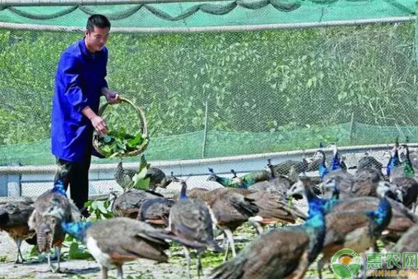 珍珠鸡养殖致富