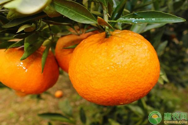 最新产区柑橘价格行情