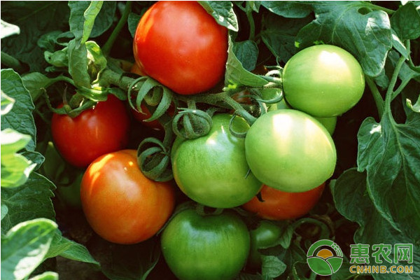 茄科蔬菜病毒病的传播途径及防治措施