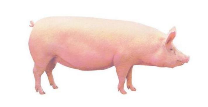 今日生猪多少钱一斤?2019年全国猪价涨跌行情预测