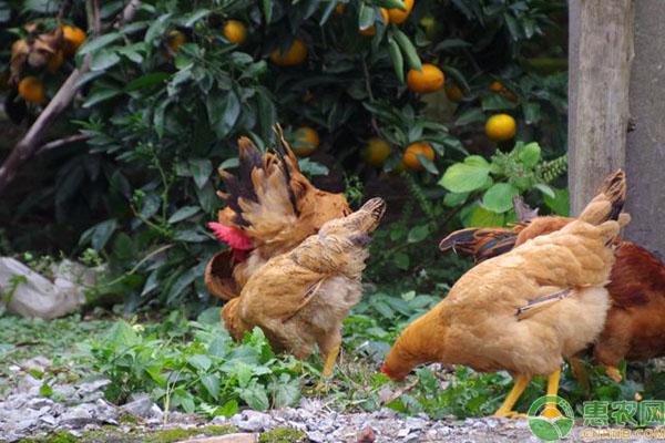 鸡群过料原因