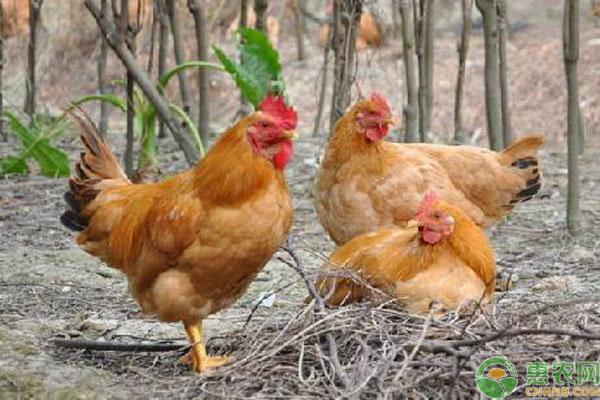 鸡群过料事项