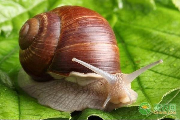 农民创业养殖白玉蜗牛,成本低,月销售额可高达50万元!