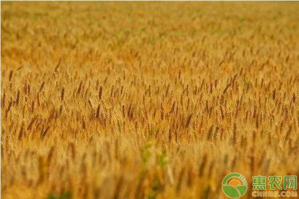 亚博-今日小麦价格走势如何?3月8日全国小麦价格行情预测