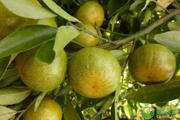 亚博-2019年3月8日柑橘产区价格行情汇总