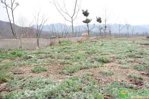 白蒿种植前景