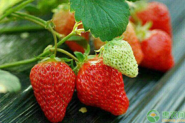 草莓最新价格行情