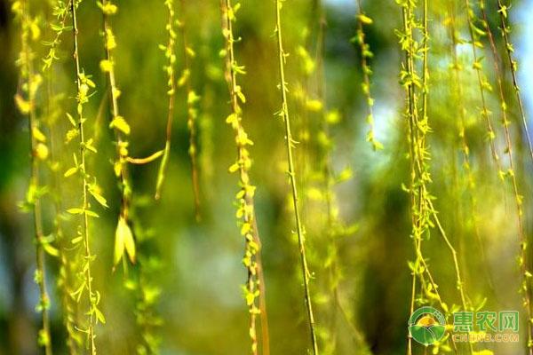 柳芽的生长形态