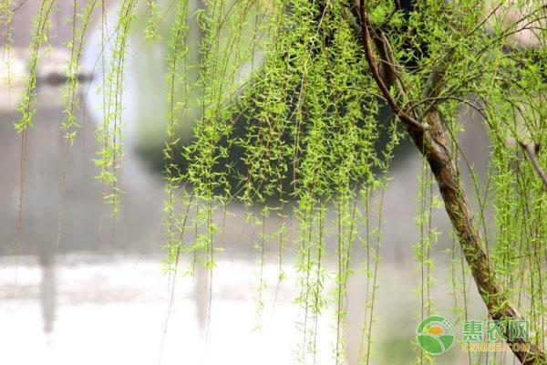 柳树的种植技术