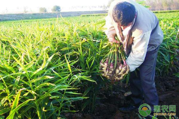 今日生姜多少钱一斤?