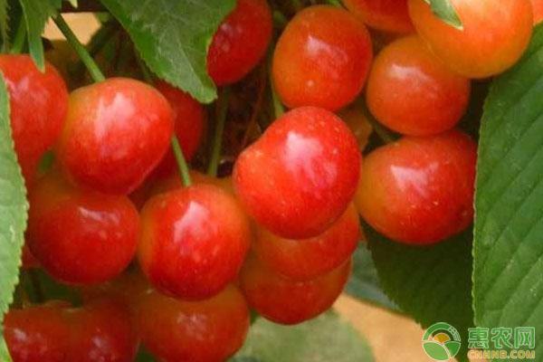 樱桃不同生长阶段的施肥要点