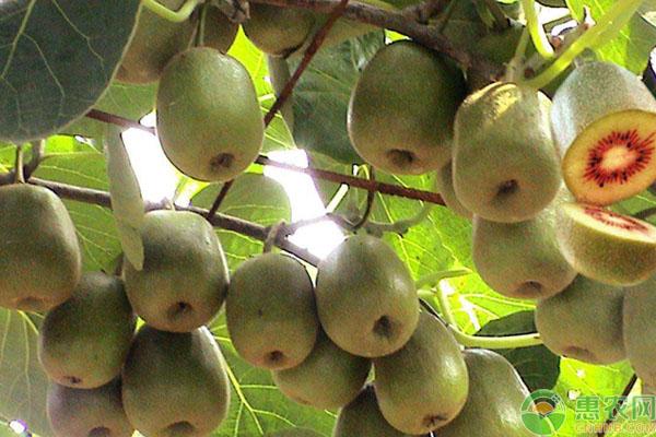 红心猕猴桃致富项目