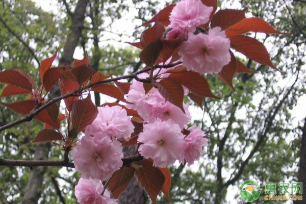 红叶樱花砧木嫁接繁育技术及病虫害防治措施