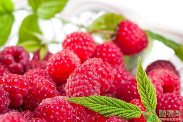 村干部带领种植树莓,亩产3000斤,亩收入能达3万元!