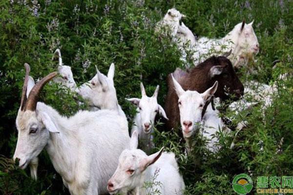 90后山羊养殖致富