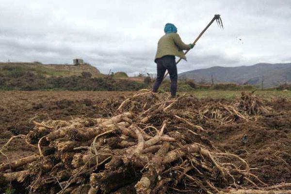 村民不种瓜果,种亩产300斤的它,年收入近10万!