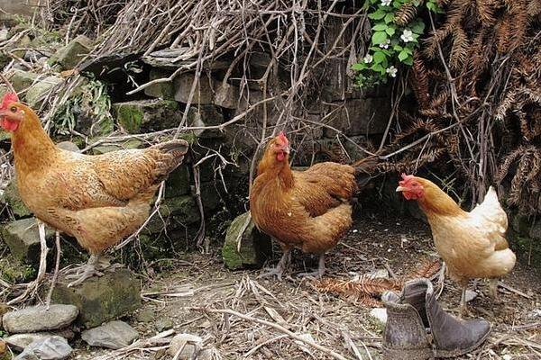 今日淘汰鸡价格如何?2019全国最新淘汰鸡价格行情汇总