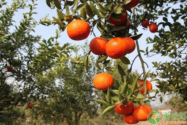 柑橘价格行情