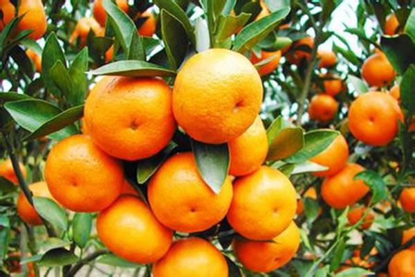 现在柑橘多少钱一斤?2019年3月20日柑橘价格行情