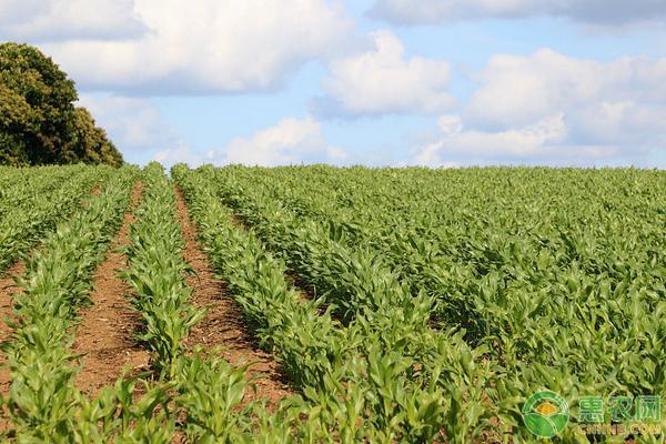 2019年黑龙江省玉米品种种植区域划分详情