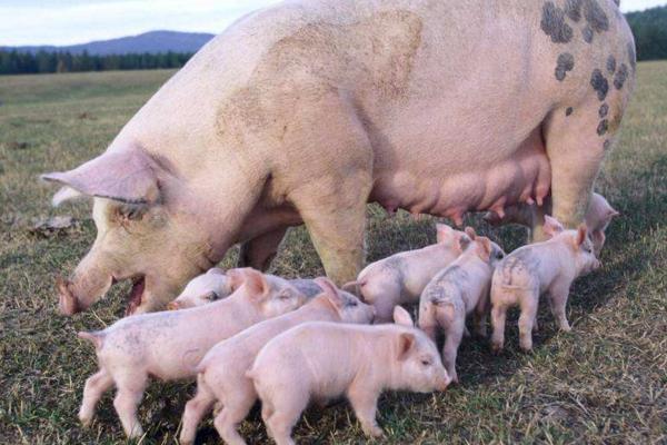 今日猪价涨跌走势如何?2019年全国生猪价格行情预测