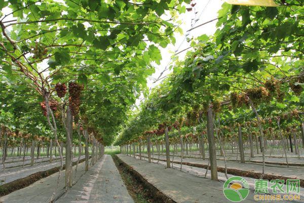 美人指葡萄的味道如何?有哪些功效和作用?