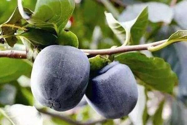黑柿子好吃吗?黑柿子有哪些功效及作用?