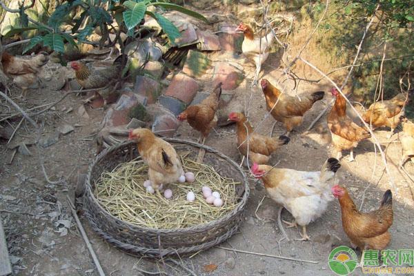 土鸡养殖前景