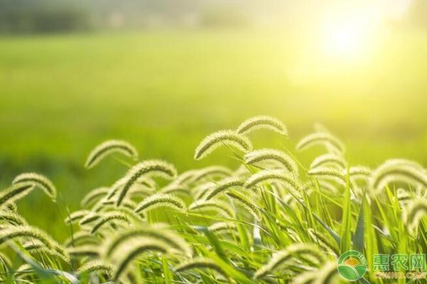 狗尾巴草的花语是什么?有哪些功效作用?