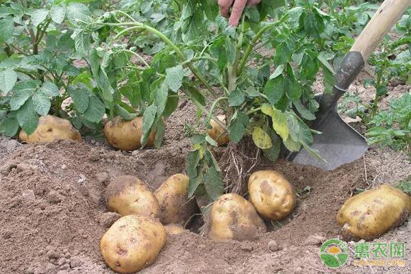 土豆想要高产,施肥和到位都要做浇水!淘宝拉新步骤图片